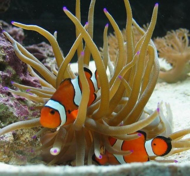 Cá Hề - một giống cá cảnh biển được yêu thích