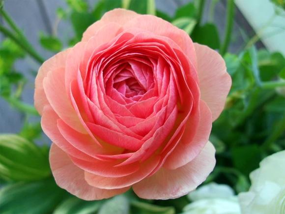 Hoa mao lương mang vẻ đẹp kiêu sa